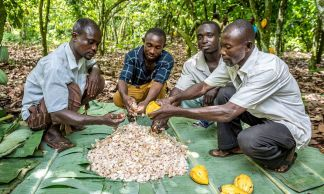 Cocoa farmers open the fruits after harvesting.